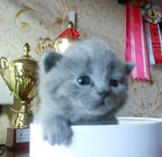 Британские котята драгоценного окраса