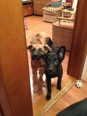 ищут добрые руки щенки от умной домашней собаки