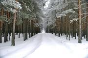 Продам деловой лес на корню