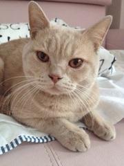 Кто потерял кота? Британец,  окрас кремовый.
