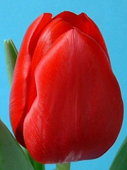 Тюльпаны оптом Иркутск