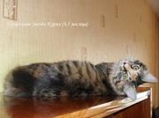Котенок - кошечка Курильского бобтейла ШОУ-класса