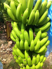Бананы кавендиш