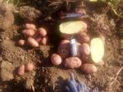 Картофель оптом от крупного производителя
